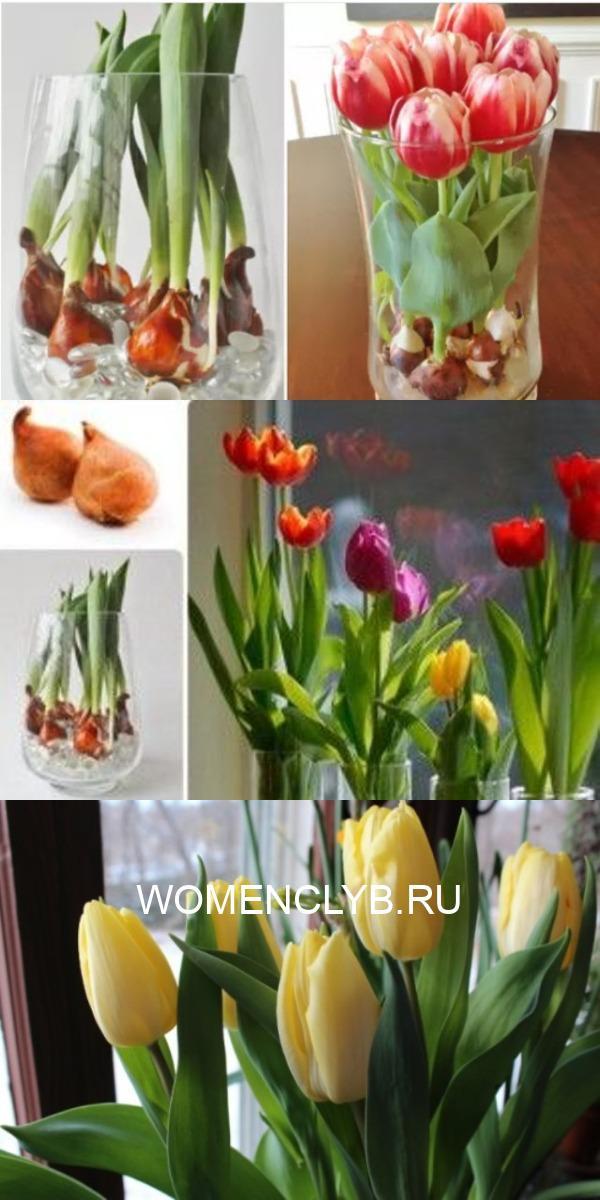 Цветущие тюльпаны круглый год! Секрет: вот как можно вырастить тюльпаны совсем без земли