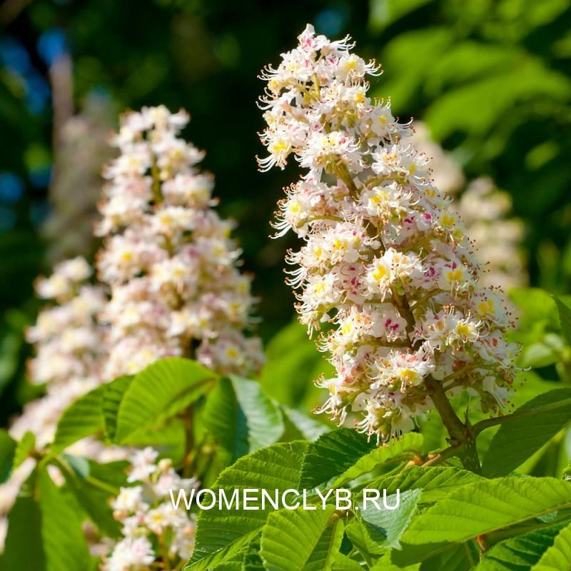 spring-blossoming-chestnut-flowers