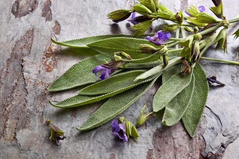 flowering-sage