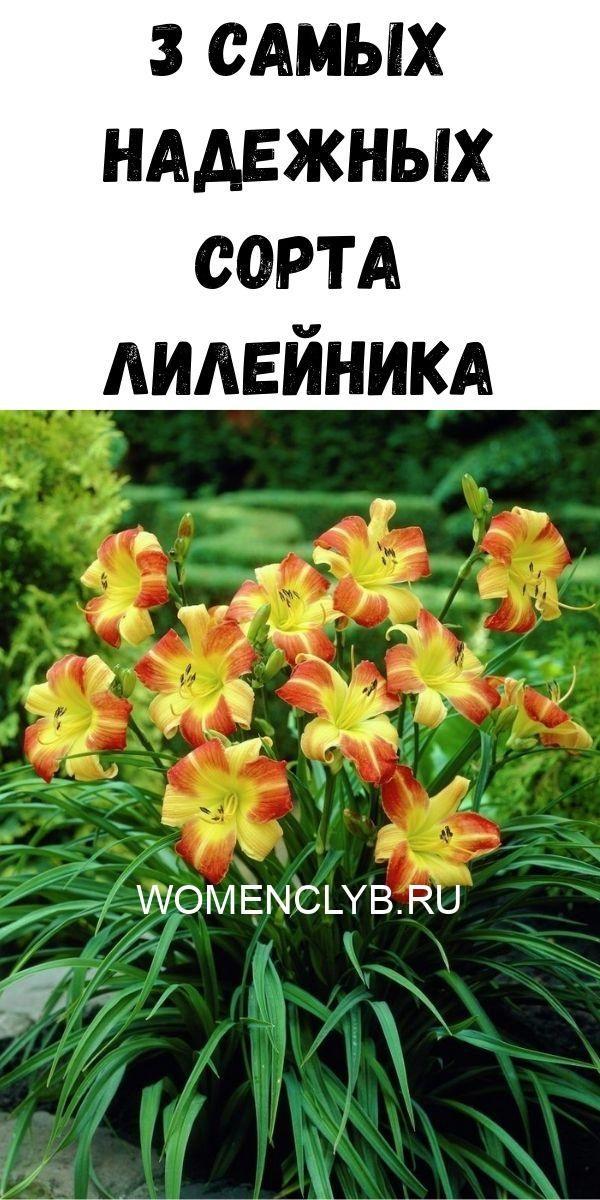 3-samyh-nadezhnyh-sorta-lileynika-2684534