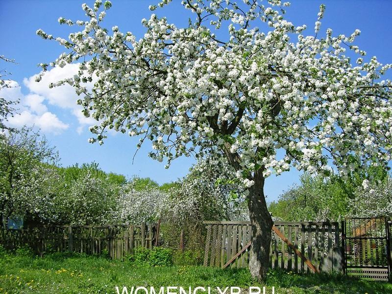 blooming-fruit-tree