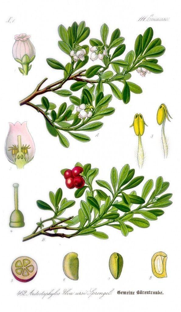 arctostaphylos-uva-ursi-3-4780523