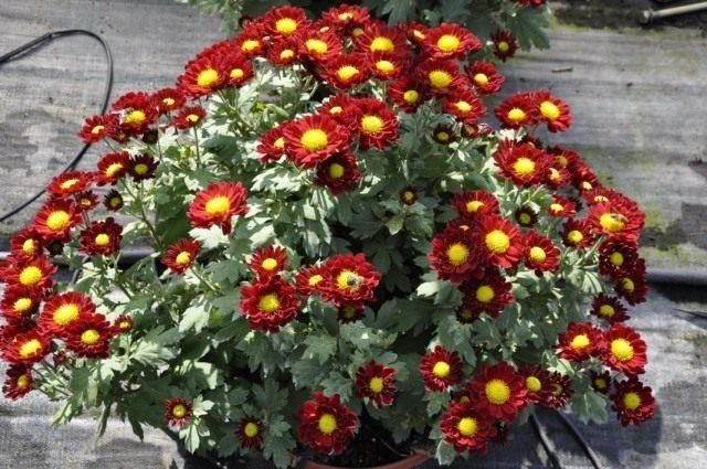 chrysanthemum-02-640x425-1-8721400