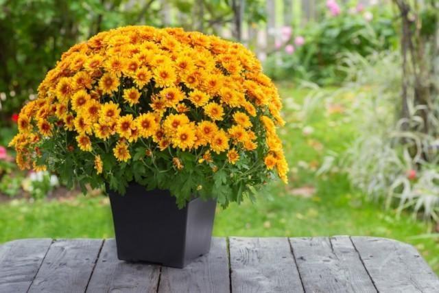 chrysanthemum-1-640x427-1-2797140