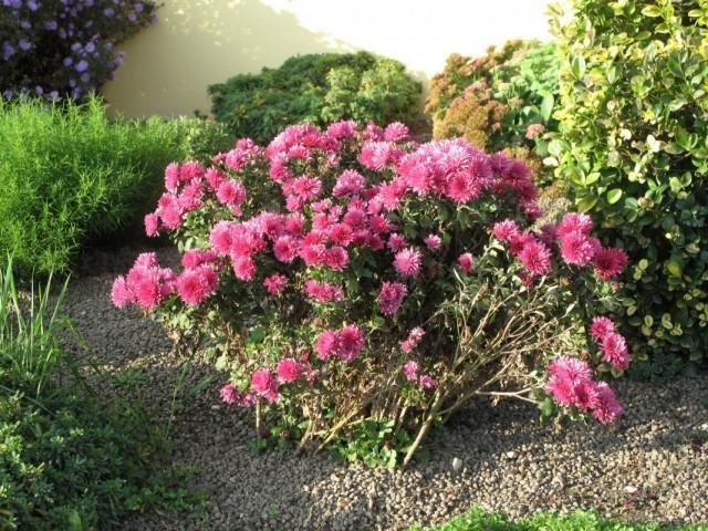 chrysanthemum-2-640x480-1-2939927