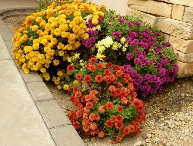 chrysanthemum-3-640x484-1-4645191
