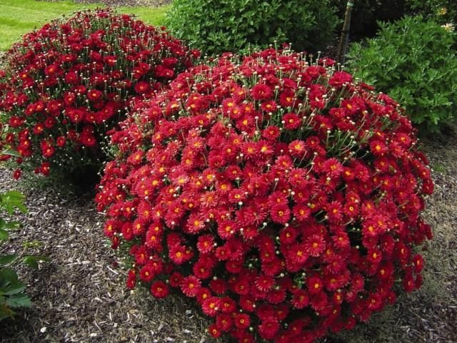 chrysanthemum-4-640x481-1-4741381