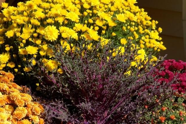 chrysanthemum-5-640x427-1-4649934