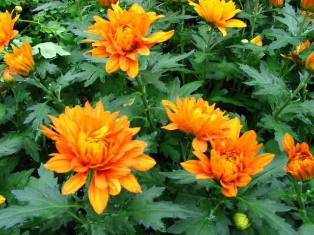 chrysanthemum-6-640x480-1-5609225