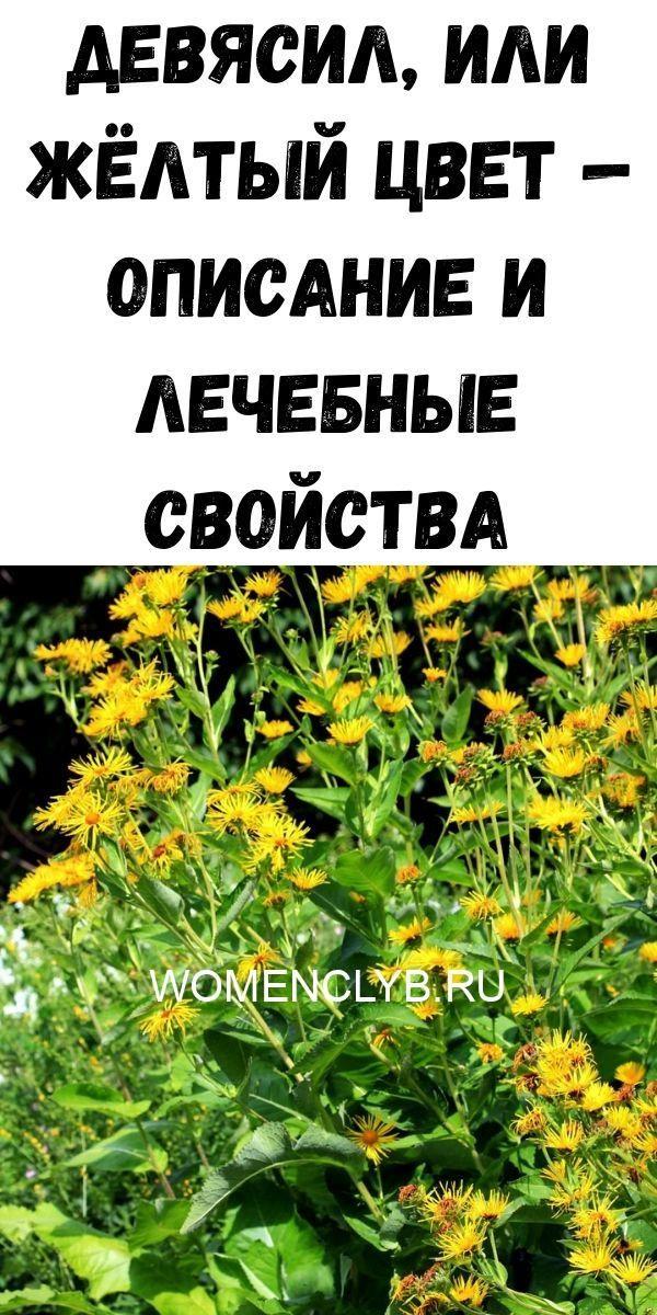 devyasil-ili-zhyoltyy-tsvet-opisanie-i-lechebnye-svoystva-3714377