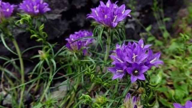 edraianthus-dalmaticus-640x360-1-9537540