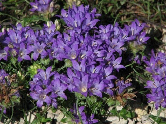 edraianthus-graminifolius-640x480-1-5526608
