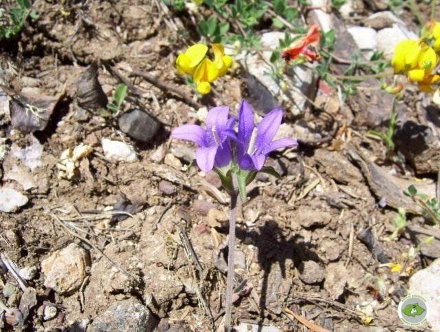 edraianthus-parnassicus-640x482-1-7309474