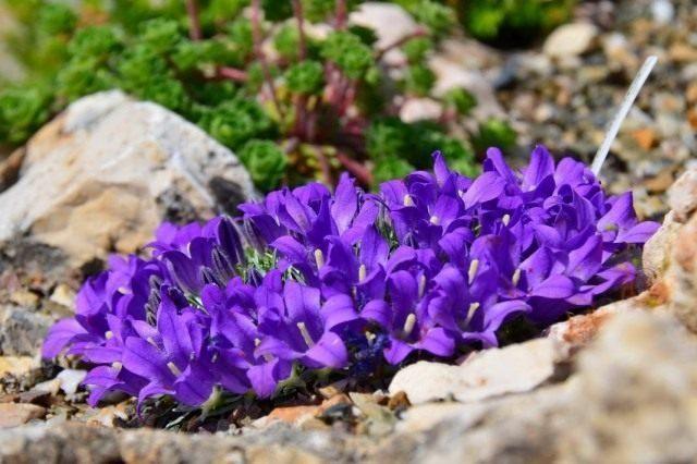 edraianthus-pumilio-640x426-1-1385985