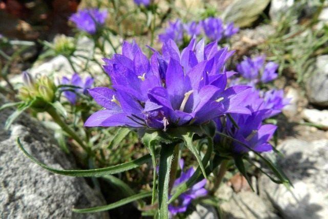 edraianthus-serbicus-640x427-1-3954521