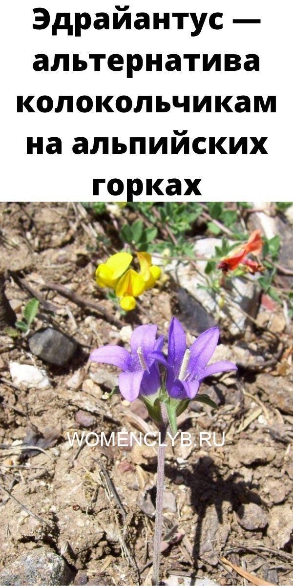 edrayantus-alternativa-kolokolchikam-na-alpiyskih-gorkah-6715279