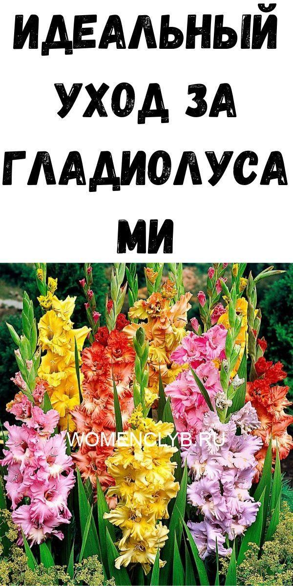 idealnyy-uhod-za-gladiolusami-3829561