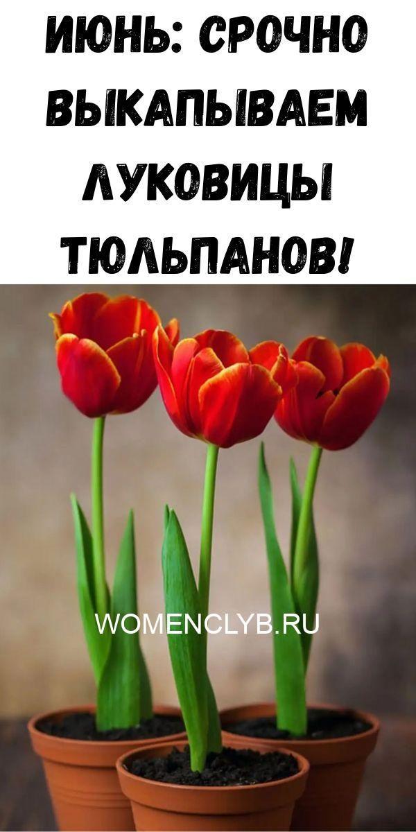 iyun-srochno-vykapyvaem-lukovitsy-tyulpanov-4379605