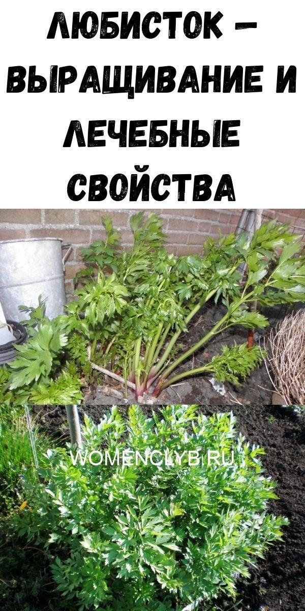lyubistok-vyraschivanie-i-lechebnye-svoystva-8802483