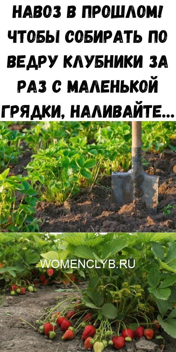 navoz-v-proshlom-chtoby-sobirat-po-vedru-klubniki-za-raz-s-malenkoy-gryadki-nalivayte-8891471