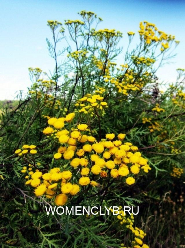 pizhma-obyiknovennaya-1-640x858-1-9594590