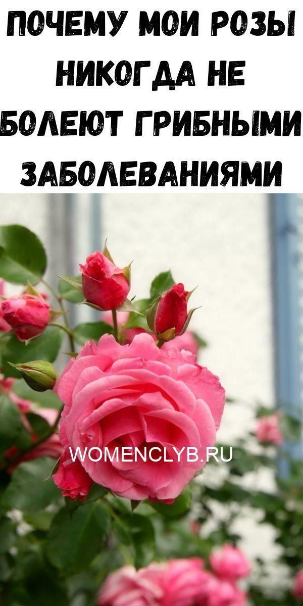 pochemu-moi-rozy-nikogda-ne-boleyut-gribnymi-zabolevaniyami-9664747