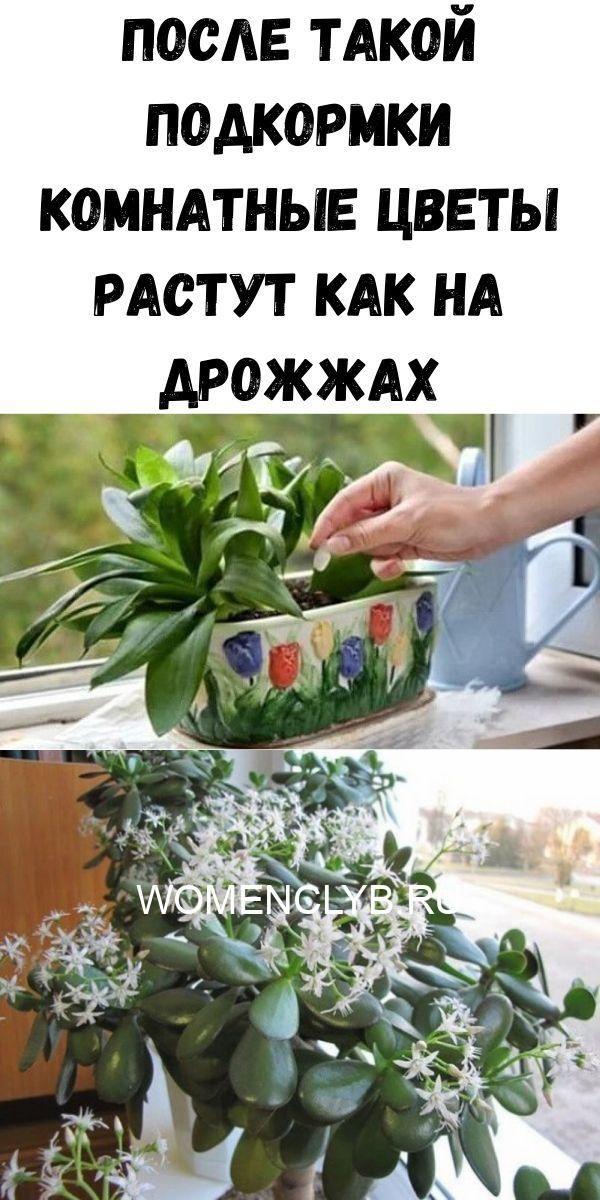 posle-takoy-podkormki-komnatnye-tsvety-rastut-kak-na-drozhzhah-9053879