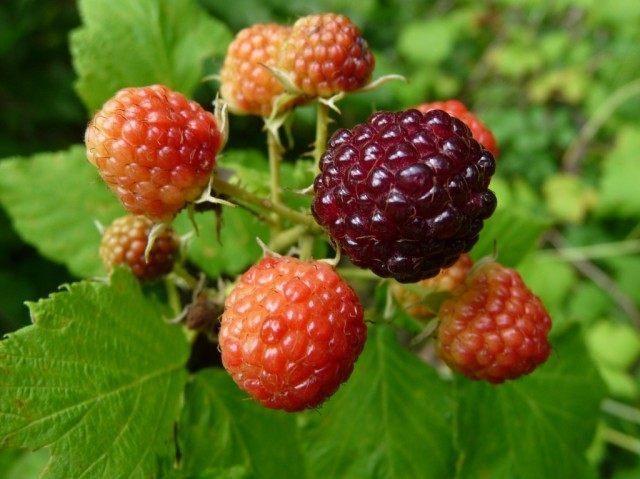 raspberry-1-640x479-1-2847983