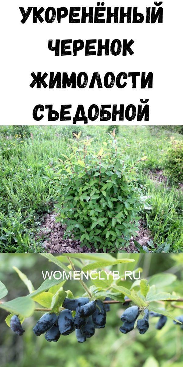 razmnozhenie-zhimolosti-sedobnoy-cherenkami-8673350