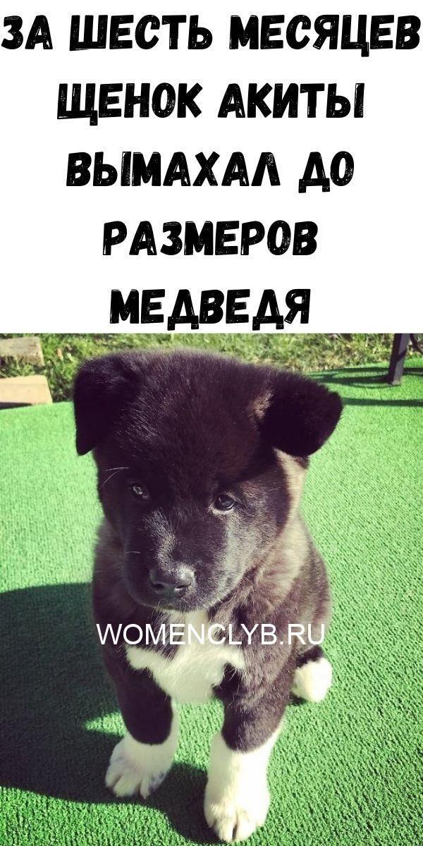 za-shest-mesyatsev-schenok-akity-vymahal-do-razmerov-medvedya-9059162